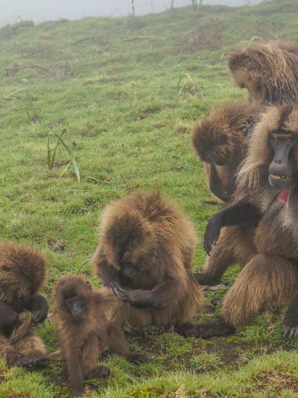 gelada-monkeys-simien-2